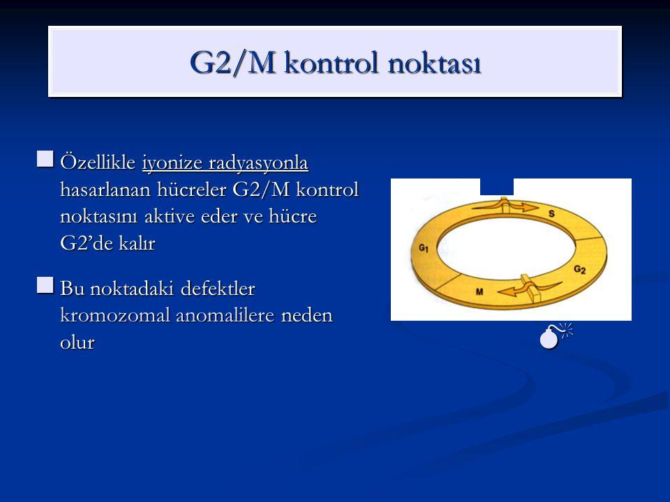 G2/M kontrol noktası Özellikle iyonize radyasyonla hasarlanan hücreler G2/M kontrol noktasını aktive eder ve hücre G2'de kalır Özellikle iyonize radya
