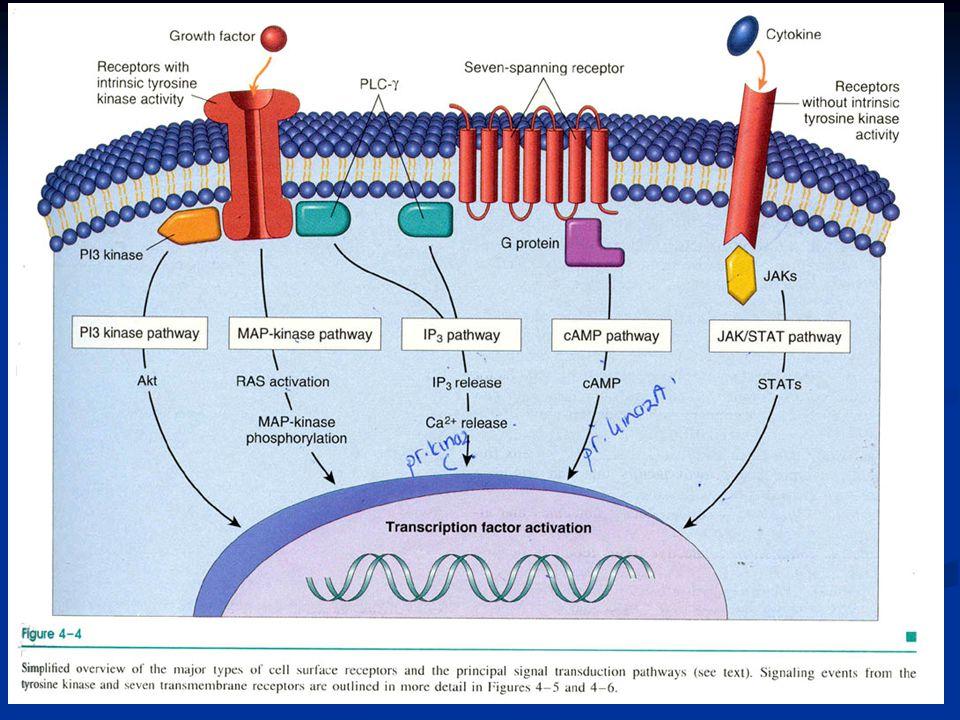 Sessiz hücreler büyüme faktörleri ile uyarıldığı zaman: Siklin D ve Siklin E konsantrasyon artımı SiklinD-CDK4 ve SiklinE-CDK2 aktivasyonu RB fosforilasyonu