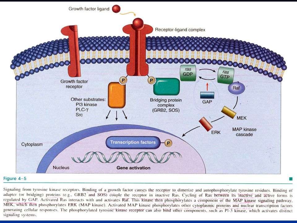 p16INK4ap16INK4a SiklinD ile CDK4'e bağlanmak için rekabete girer SiklinD ile CDK4'e bağlanmak için rekabete girer SiklinD-CDK4 kompleksi oluşumunu inhibe eder SiklinD-CDK4 kompleksi oluşumunu inhibe eder RB fosforilasyonunun engellenmesi RB fosforilasyonunun engellenmesi Sonuç: Hücre siklusu G1 sonunda kalırSonuç: Hücre siklusu G1 sonunda kalır Kanserde inaktif; –Mutasyon –Hipermetilasyon