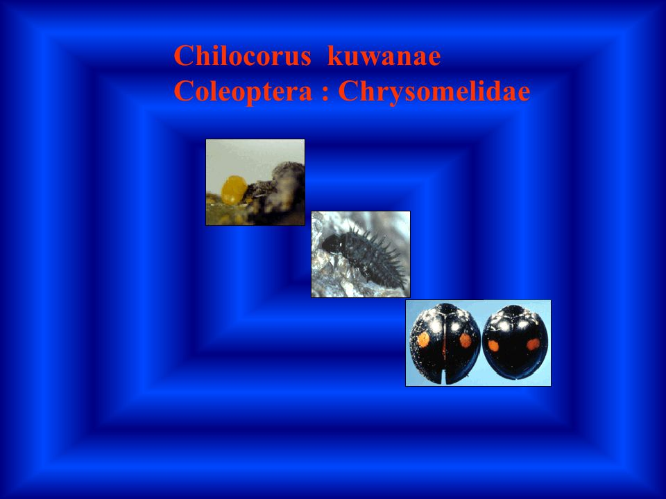 Chilocorus kuwanae Coleoptera : Chrysomelidae