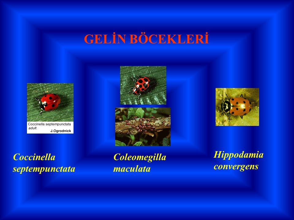 GELİN BÖCEKLERİ Coccinella septempunctata Hippodamia convergens Coleomegilla maculata