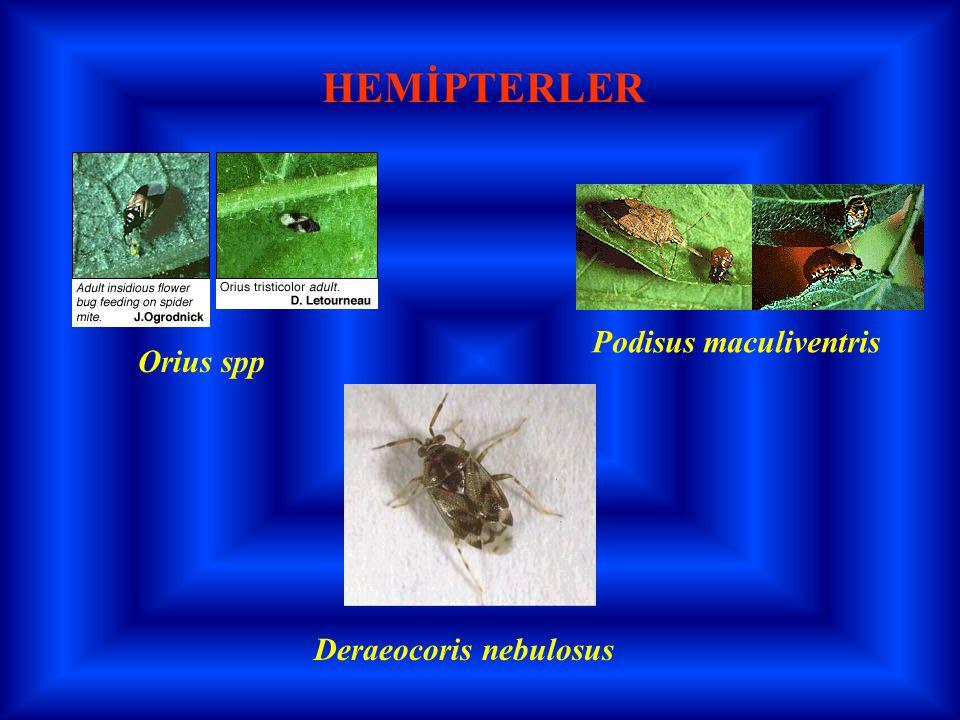 Orius spp Deraeocoris nebulosus Podisus maculiventris HEMİPTERLER