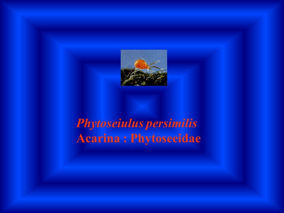Phytoseiulus persimilis Acarina : Phytoseeidae
