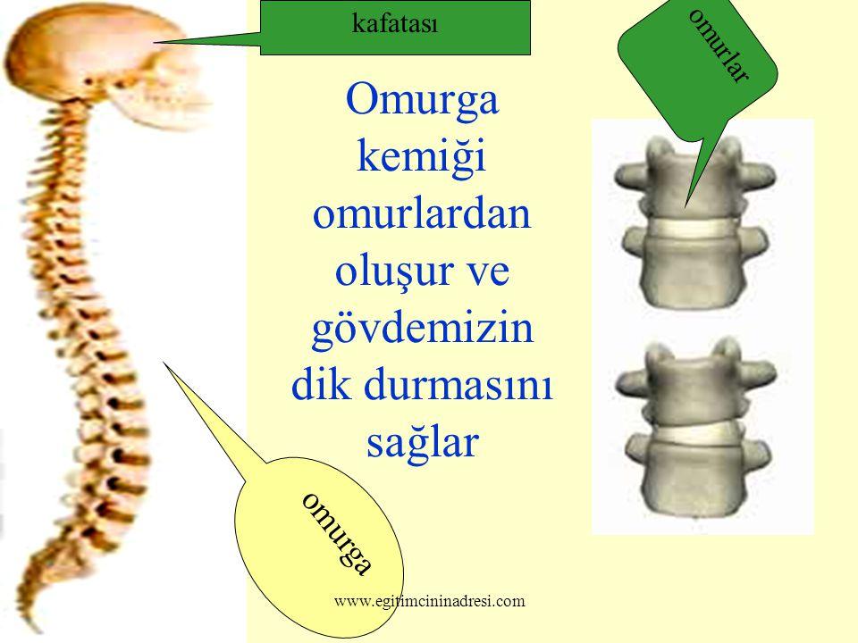 Omurga kemiği omurlardan oluşur ve gövdemizin dik durmasını sağlar omurlar omurga kafatası www.egitimcininadresi.com