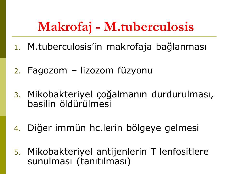 Makrofaj - M.tuberculosis 1.M.tuberculosis'in makrofaja bağlanması 2.