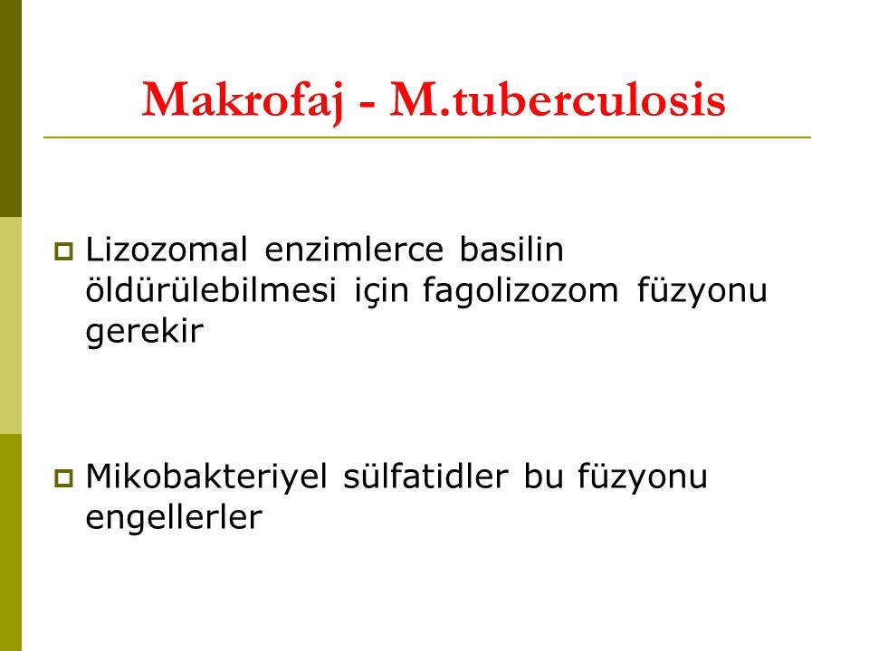 Makrofaj - M.tuberculosis  Lizozomal enzimlerce basilin öldürülebilmesi için fagolizozom füzyonu gerekir  Mikobakteriyel sülfatidler bu füzyonu engellerler