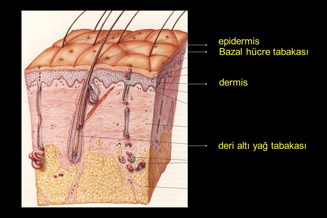 deri ektoderm / mezoderm Epitelyal elemanlar epidermis pilosebase yapılar apocrine üniteler ekrin ter bezleri tırnak Diğer elemanlar Langerhans hücreleri Merkel hücreleri kan damarları lenf kanalları yağ hücreleri mast hücreleri Nöroektoderm : Melanosit, sinir yapıları