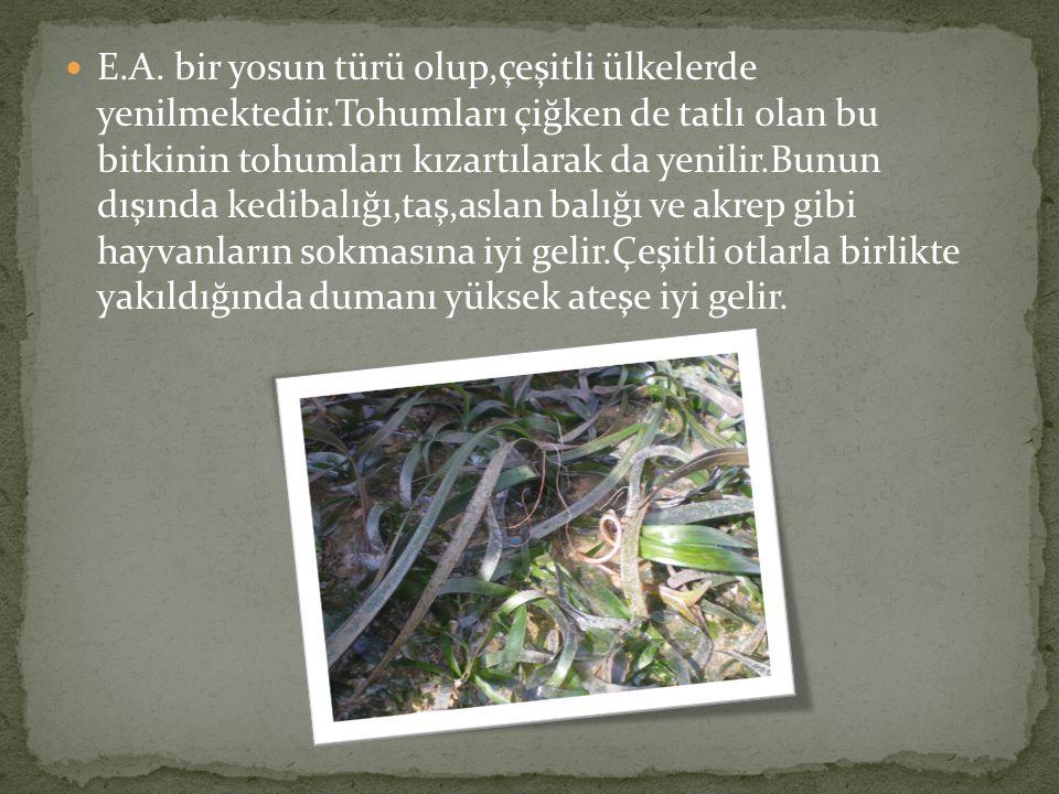 E.A. bir yosun türü olup,çeşitli ülkelerde yenilmektedir.Tohumları çiğken de tatlı olan bu bitkinin tohumları kızartılarak da yenilir.Bunun dışında ke