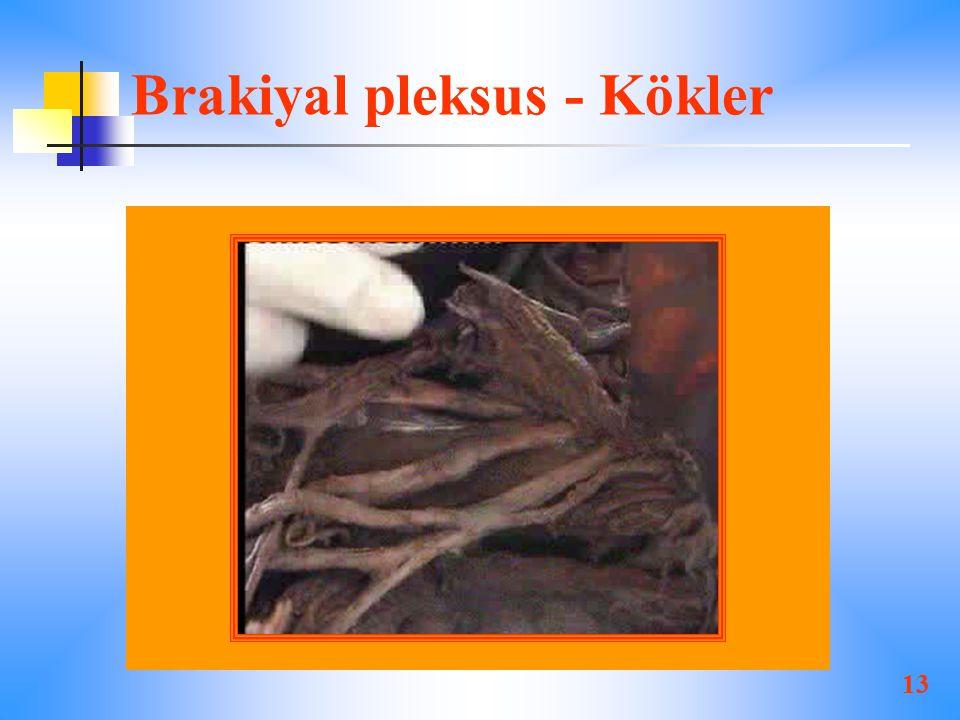 13 Brakiyal pleksus - Kökler