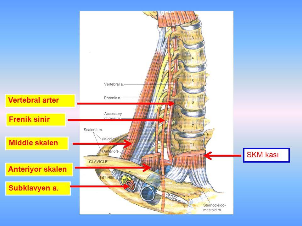SKM kası Vertebral arter Frenik sinir Anteriyor skalen Middle skalen Subklavyen a.
