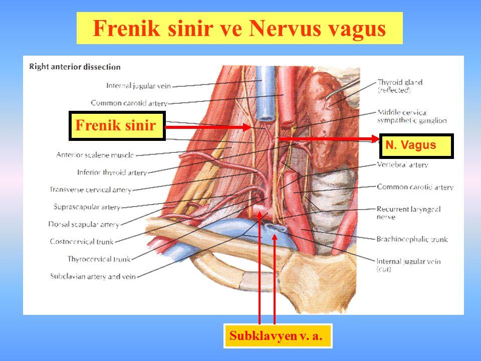Frenik sinir Subklavyen v. a. N. Vagus Frenik sinir ve Nervus vagus