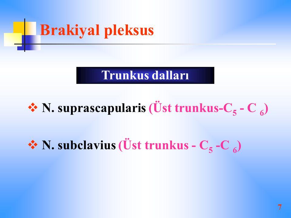 7 Brakiyal pleksus  N.suprascapularis (Üst trunkus-C 5 - C 6 )  N.