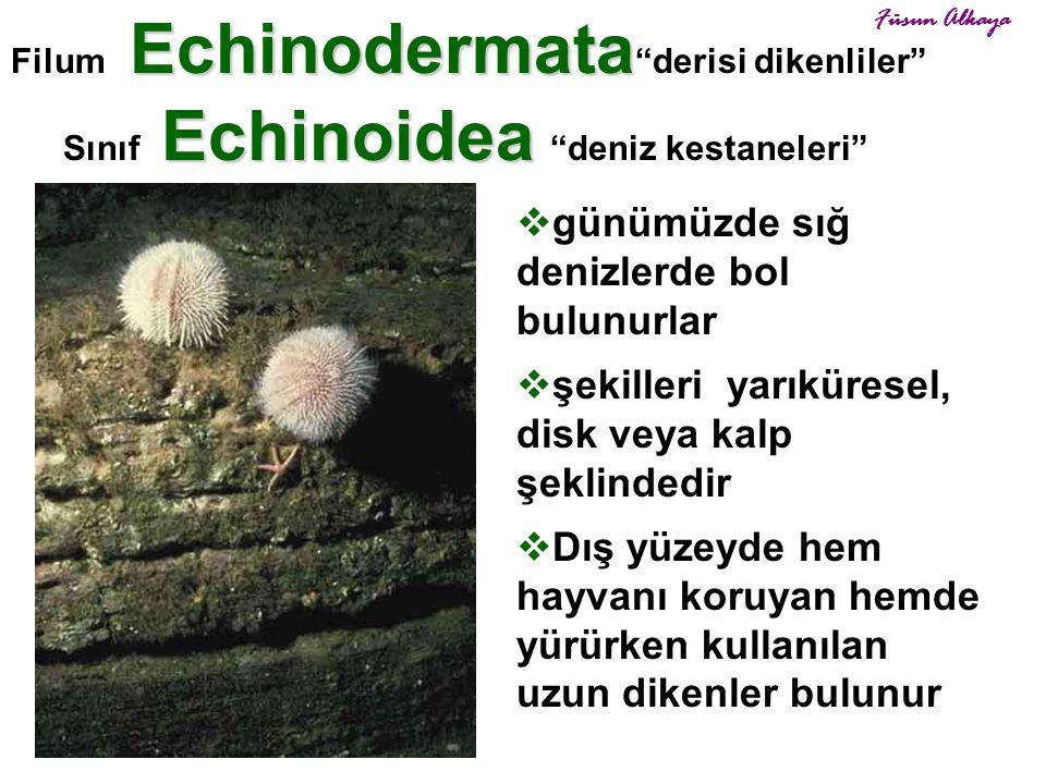 """Echinoidea Sınıf Echinoidea """"deniz kestaneleri"""" Echinodermata Filum Echinodermata """"derisi dikenliler""""  günümüzde sığ denizlerde bol bulunurlar  şeki"""