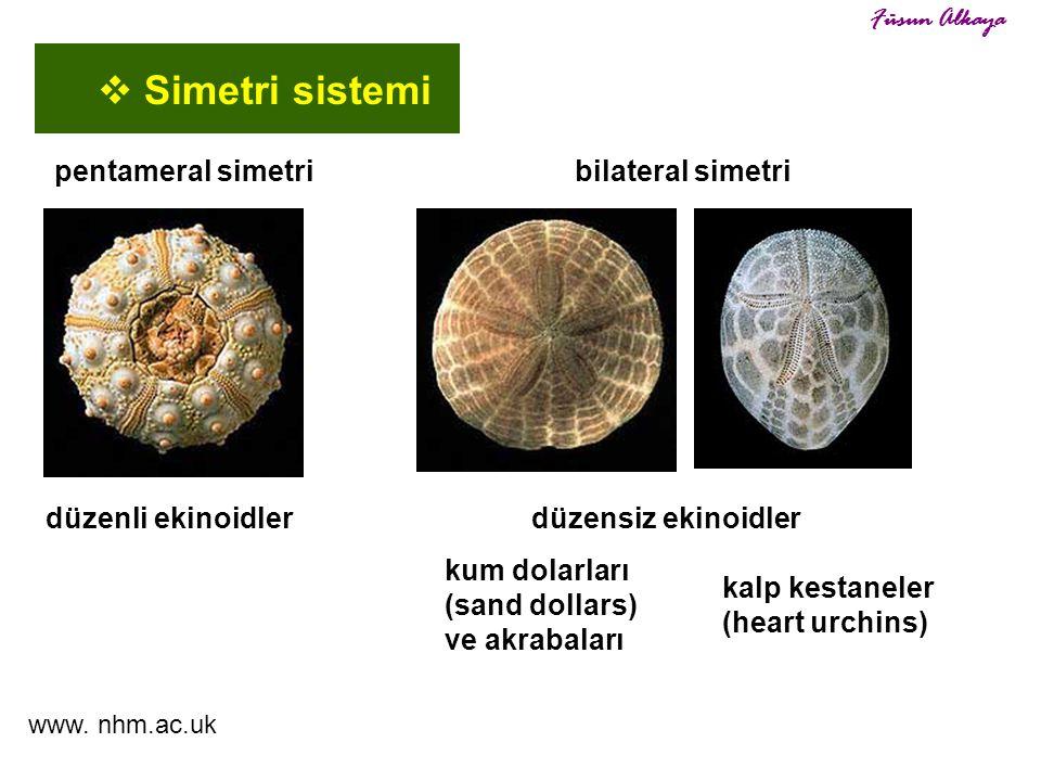 düzenli ekinoidlerdüzensiz ekinoidler kalp kestaneler (heart urchins) www. nhm.ac.uk  Simetri sistemi Füsun Alkaya kum dolarları (sand dollars) ve ak
