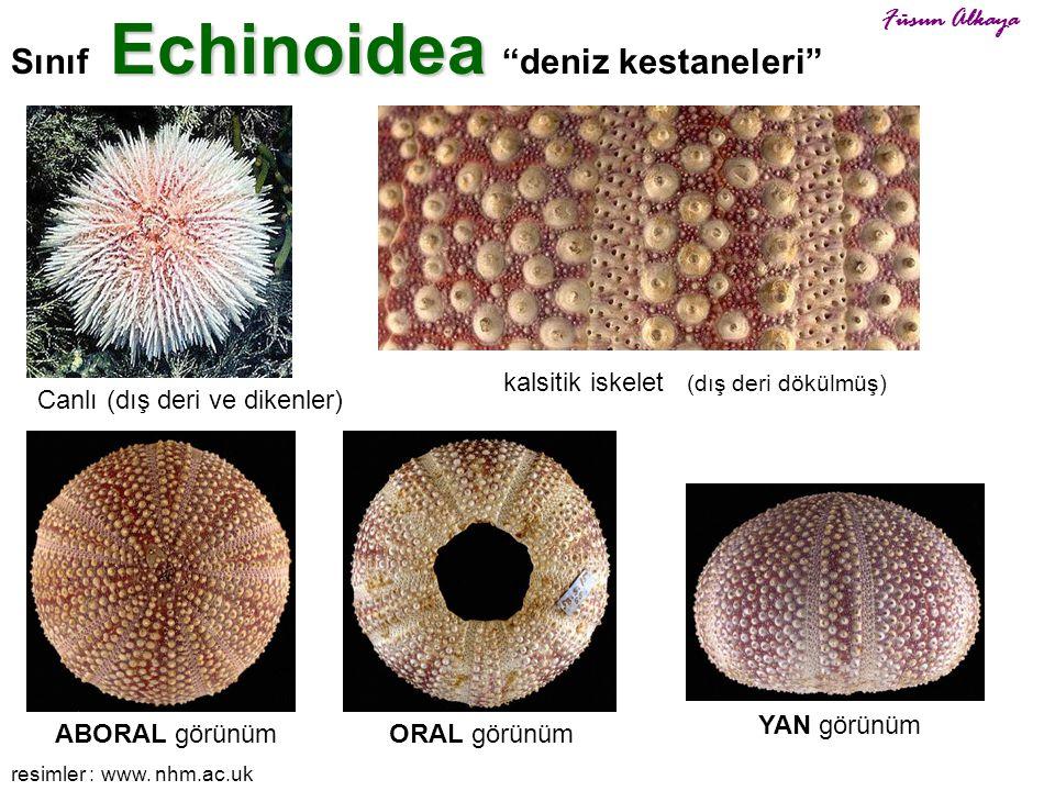 """Echinoidea Sınıf Echinoidea """"deniz kestaneleri"""" Canlı (dış deri ve dikenler) kalsitik iskelet (dış deri dökülmüş) ORAL görünümABORAL görünüm YAN görün"""