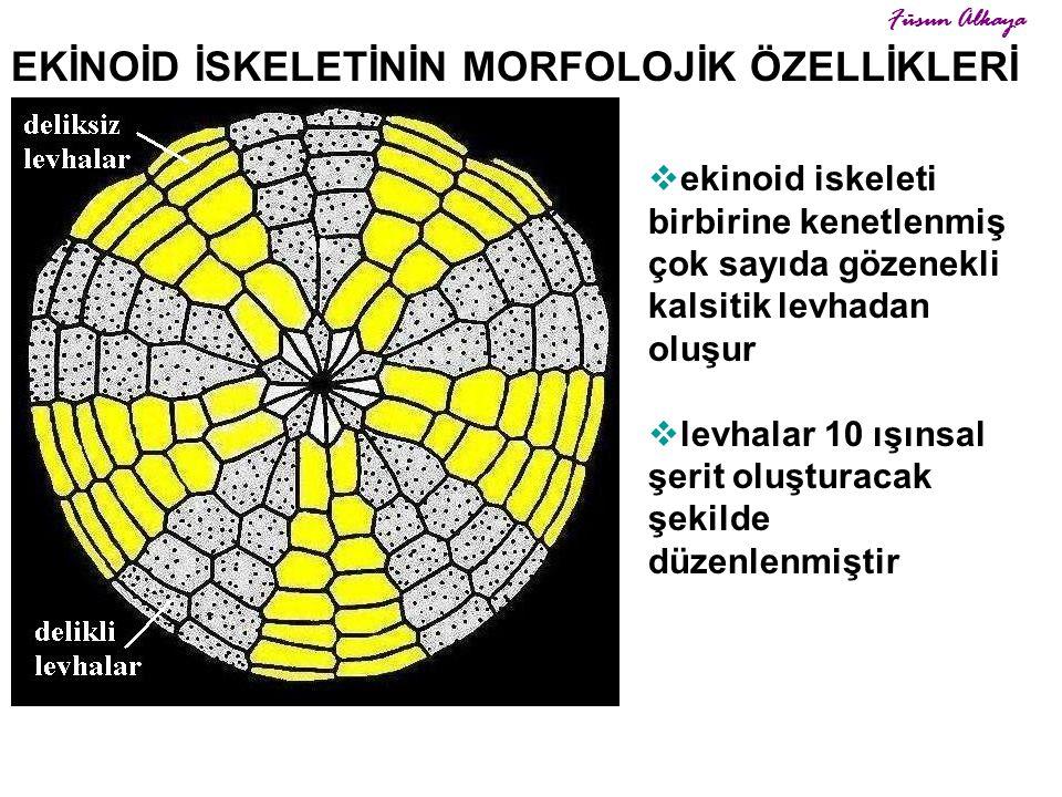 EKİNOİD İSKELETİNİN MORFOLOJİK ÖZELLİKLERİ  ekinoid iskeleti birbirine kenetlenmiş çok sayıda gözenekli kalsitik levhadan oluşur  levhalar 10 ışınsa