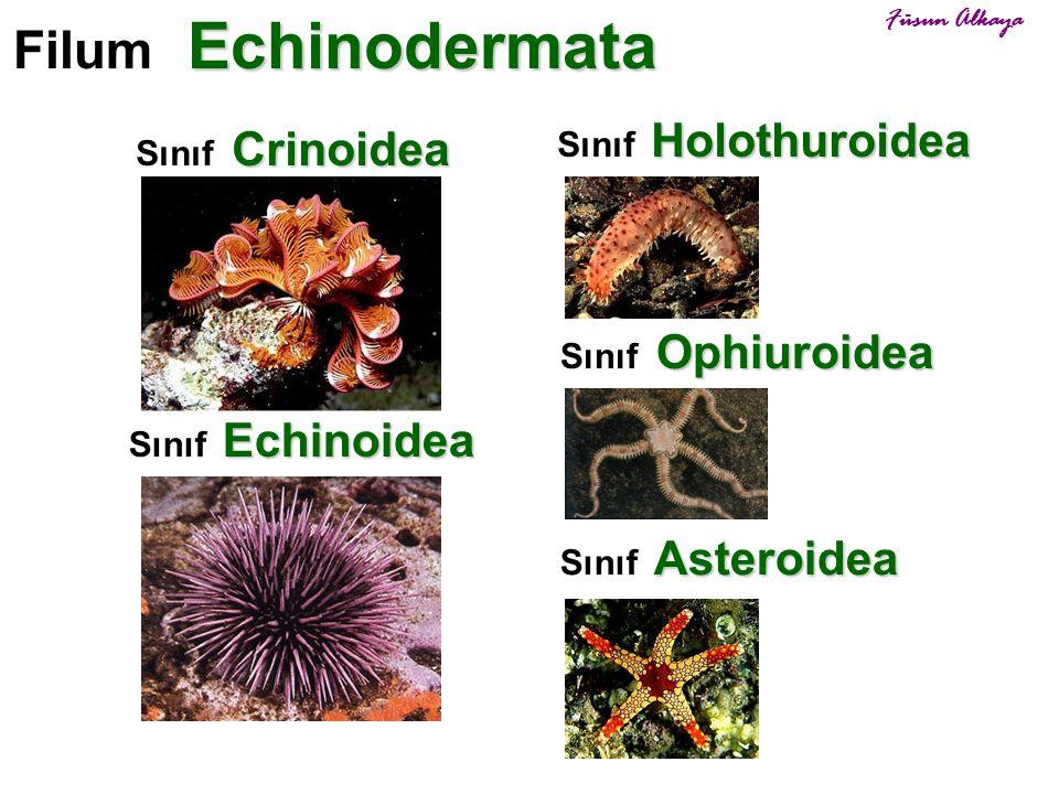 Asteroidea Sınıf Asteroidea Ophiuroidea Sınıf Ophiuroidea Echinoidea Sınıf Echinoidea Holothuroidea Sınıf Holothuroidea Crinoidea Sınıf Crinoidea Echi