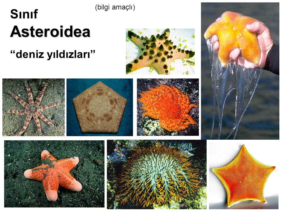 """Asteroidea Sınıf Asteroidea """"deniz yıldızları"""" (bilgi amaçlı)"""