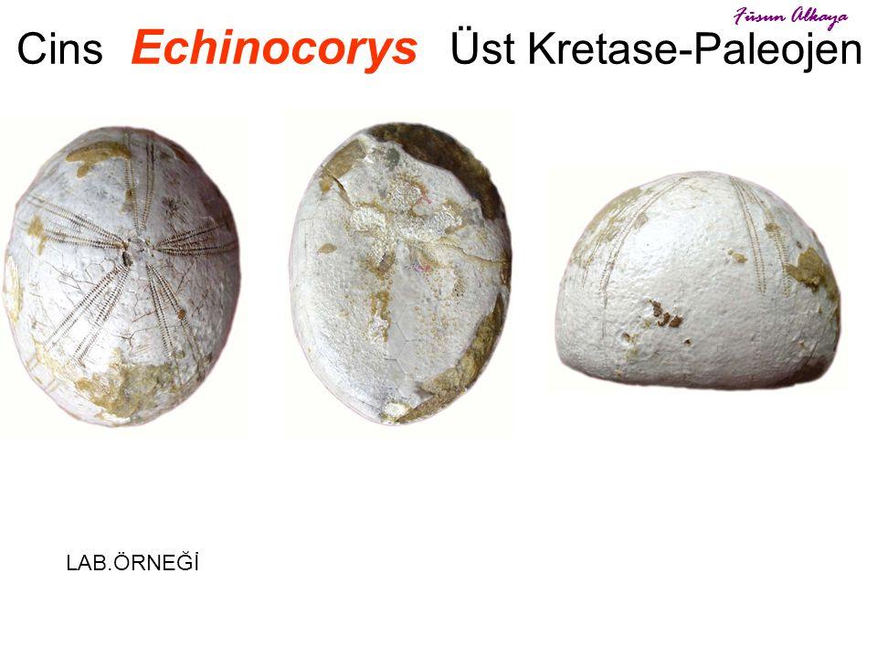 Cins Echinocorys Üst Kretase-Paleojen LAB.ÖRNEĞİ Füsun Alkaya