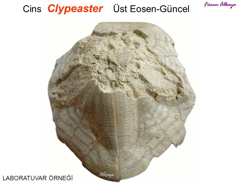 Cins Clypeaster Üst Eosen-Güncel Füsun Alkaya LABORATUVAR ÖRNEĞİ