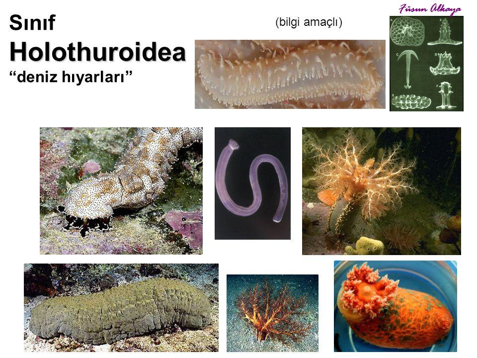 """Holothuroidea Sınıf Holothuroidea """"deniz hıyarları"""" çökelle beslenenler asıltı ile beslenenler (bilgi amaçlı) Füsun Alkaya"""
