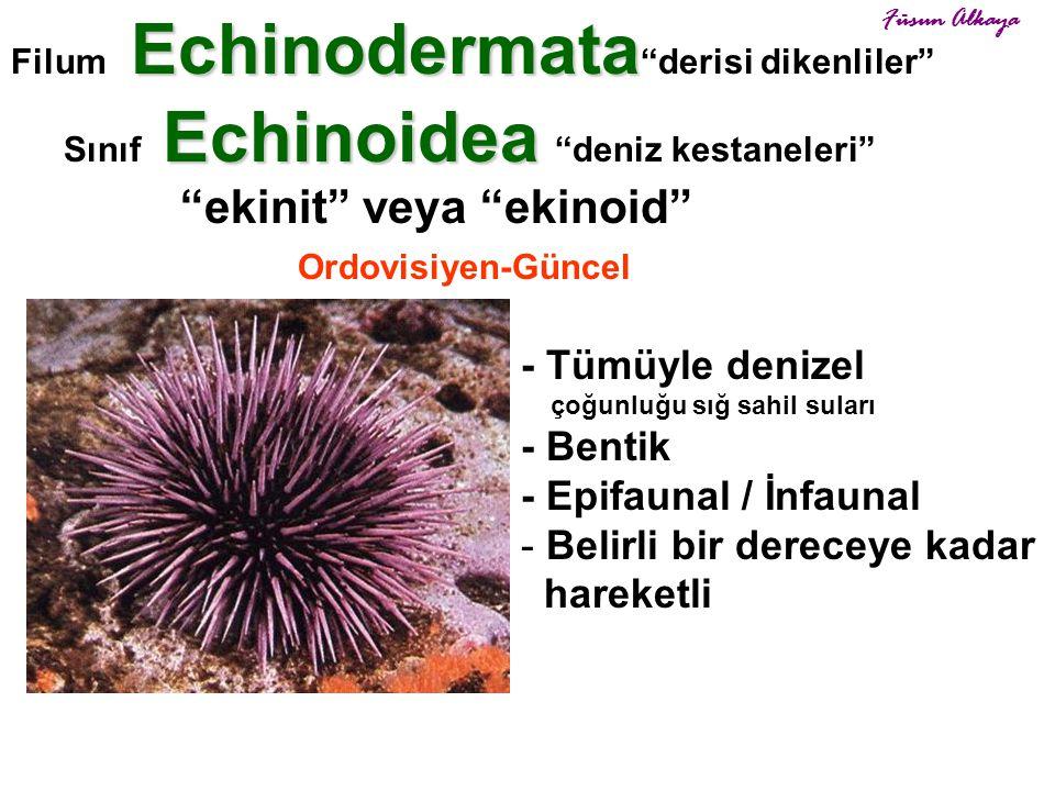 "Echinoidea Sınıf Echinoidea ""deniz kestaneleri"" ""ekinit"" veya ""ekinoid"" Ordovisiyen-Güncel Echinodermata Filum Echinodermata ""derisi dikenliler"" - Tüm"