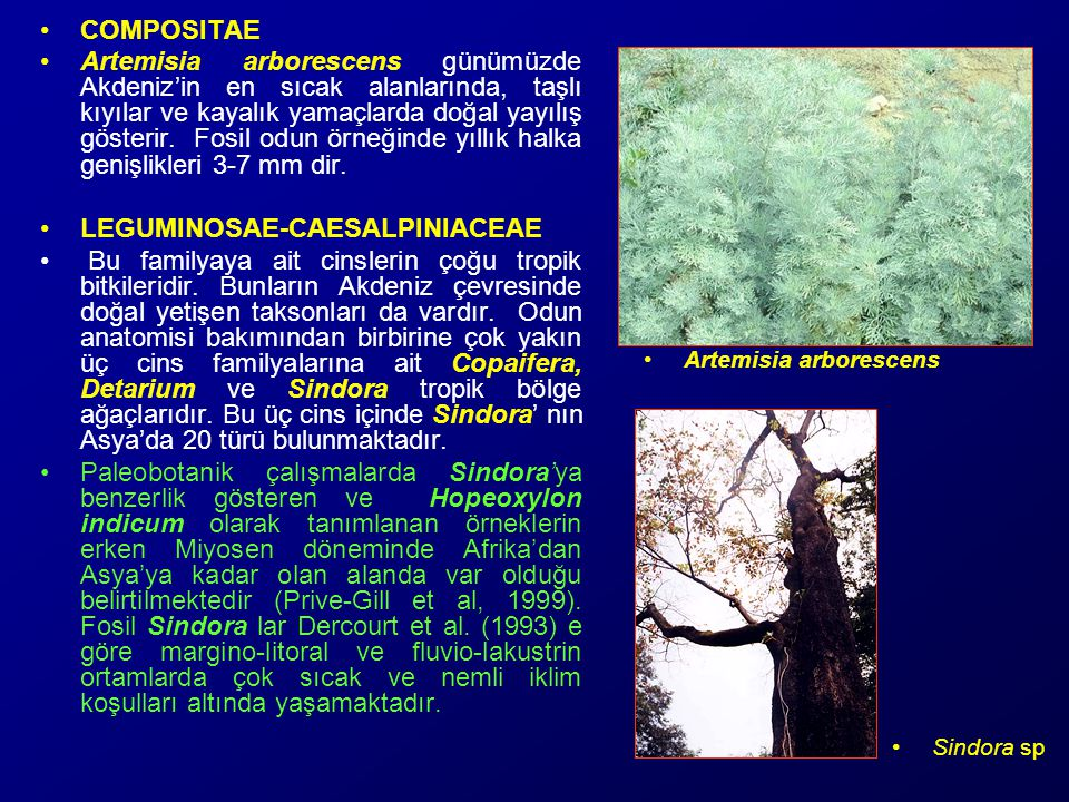 COMPOSITAE Artemisia arborescens günümüzde Akdeniz'in en sıcak alanlarında, taşlı kıyılar ve kayalık yamaçlarda doğal yayılış gösterir.