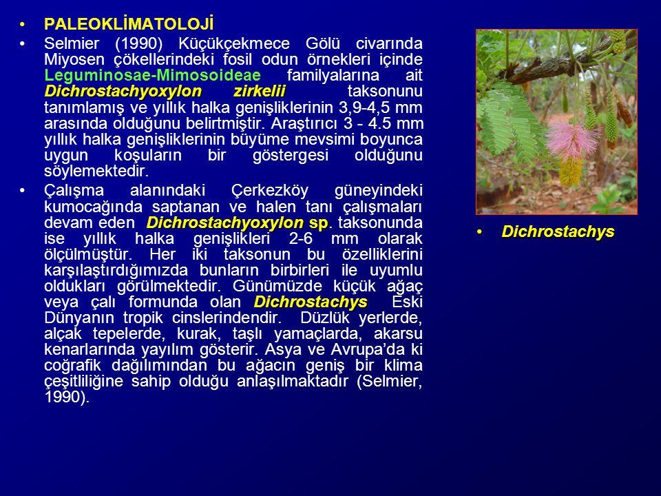 Dichrostachyoxylon sp.Leguminosae-Mimosoideae Dichrostachyoxylon sp.