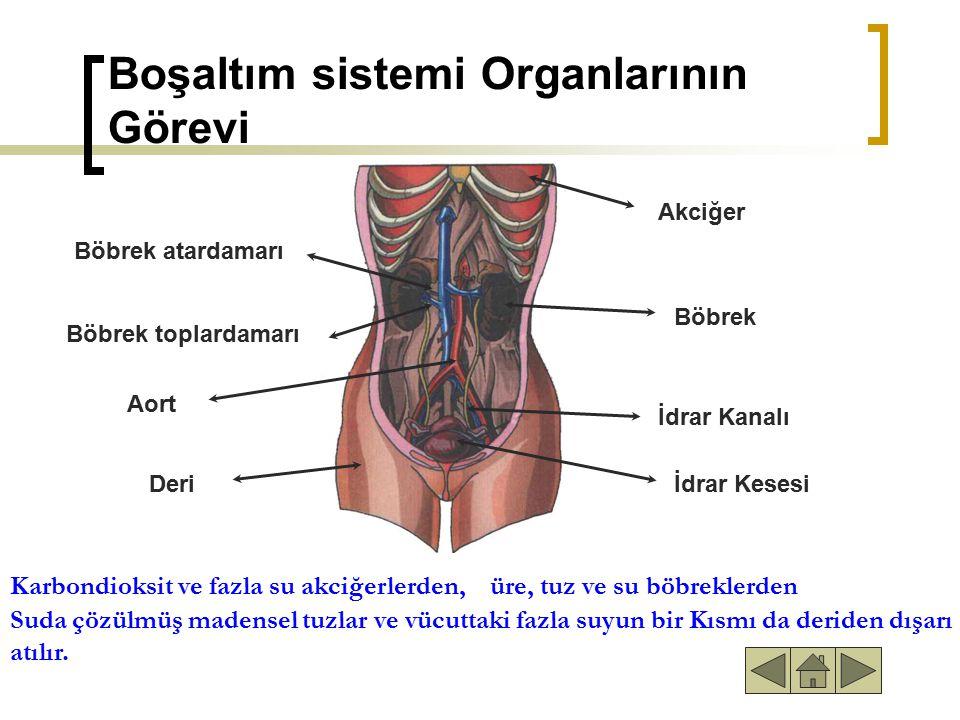 Boşaltım sistemi Organlarının Görevi Böbrek atardamarı Böbrek toplardamarı Aort Deri Akciğer Böbrek İdrar Kanalı İdrar Kesesi Karbondioksit ve fazla su akciğerlerden, üre, tuz ve su böbreklerden Karbondioksit ve fazla su akciğerlerden,üre, tuz ve su böbreklerden Suda çözülmüş madensel tuzlar ve vücuttaki fazla suyun bir Kısmı da deriden dışarı atılır.