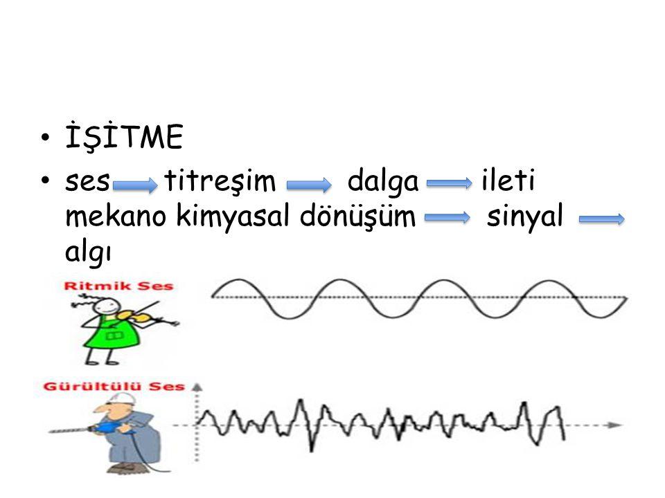 İŞİTME ses titreşim dalga ileti mekano kimyasal dönüşüm sinyal algı