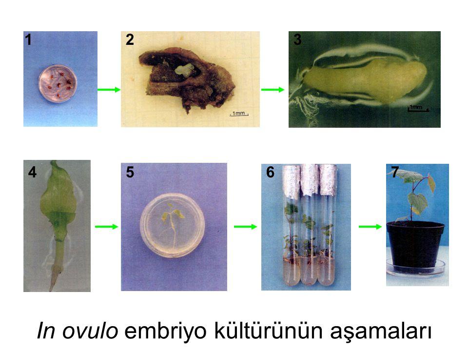 In ovulo embriyo kültürünün aşamaları 123 4567