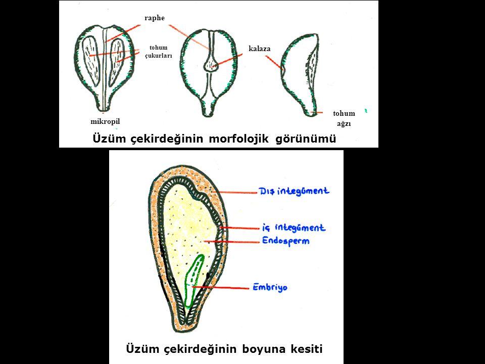 Üzüm çekirdeğinin boyuna kesiti Üzüm çekirdeğinin morfolojik görünümü mikropil tohum çukurları raphe tohum ağzı kalaza