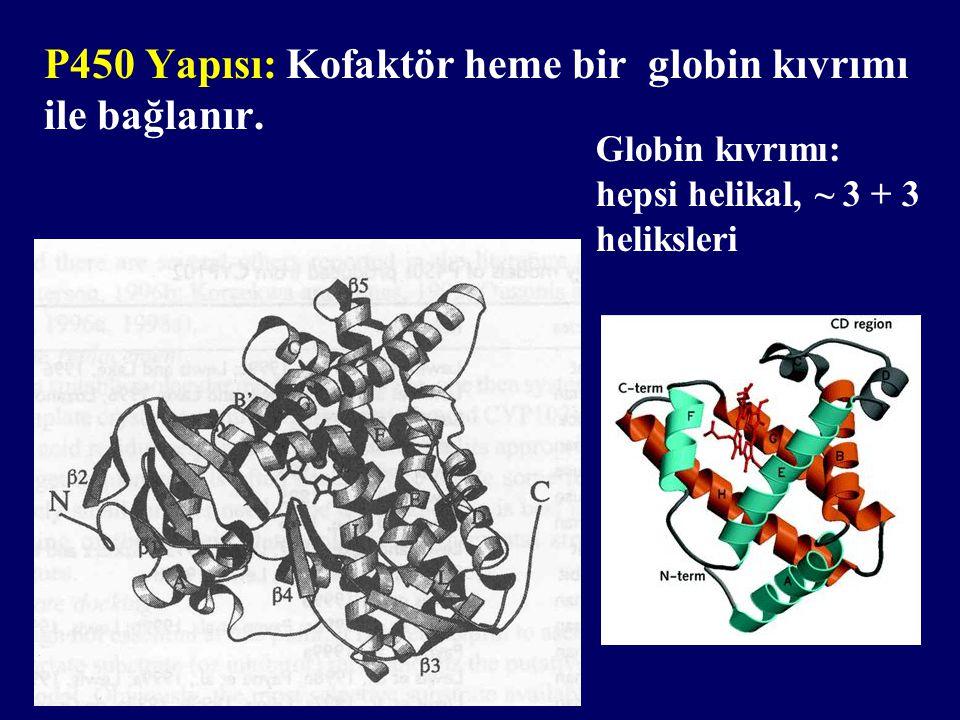 P450 Yapısı: Kofaktör heme bir globin kıvrımı ile bağlanır. Globin kıvrımı: hepsi helikal, ~ 3 + 3 heliksleri