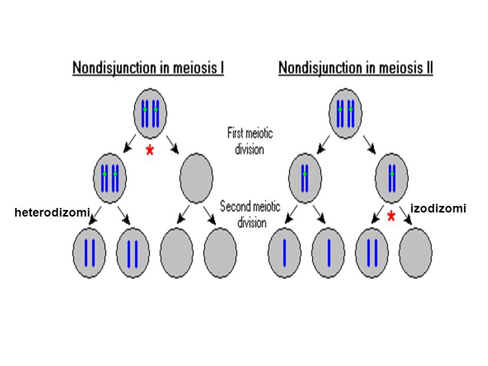 heterodizomi izodizomi
