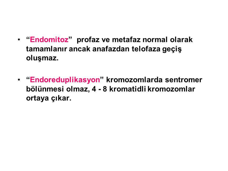 """""""Endomitoz"""" profaz ve metafaz normal olarak tamamlanır ancak anafazdan telofaza geçiş oluşmaz. """"Endoreduplikasyon"""" kromozomlarda sentromer bölünmesi o"""