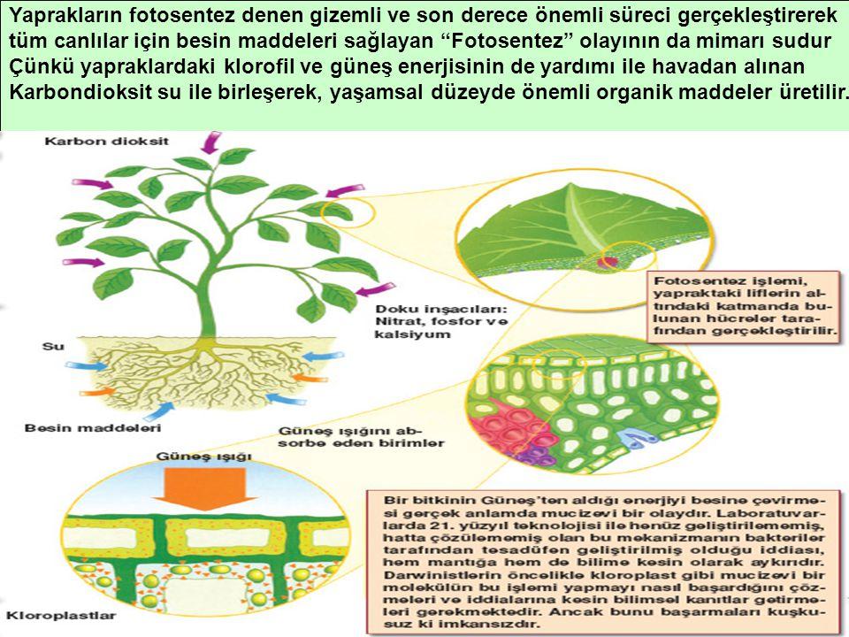 """Yaprakların fotosentez denen gizemli ve son derece önemli süreci gerçekleştirerek tüm canlılar için besin maddeleri sağlayan """"Fotosentez"""" olayının da"""
