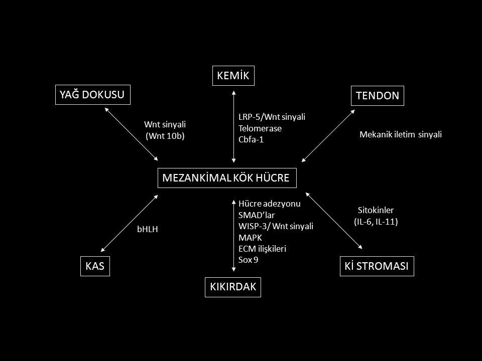 MEZANKİMAL KÖK HÜCRE KEMİK TENDON Kİ STROMASI KIKIRDAK KAS YAĞ DOKUSU Wnt sinyali (Wnt 10b) LRP-5/Wnt sinyali Telomerase Cbfa-1 Mekanik iletim sinyali Sitokinler (IL-6, IL-11) Hücre adezyonu SMAD'lar WISP-3/ Wnt sinyali MAPK ECM ilişkileri Sox 9 bHLH