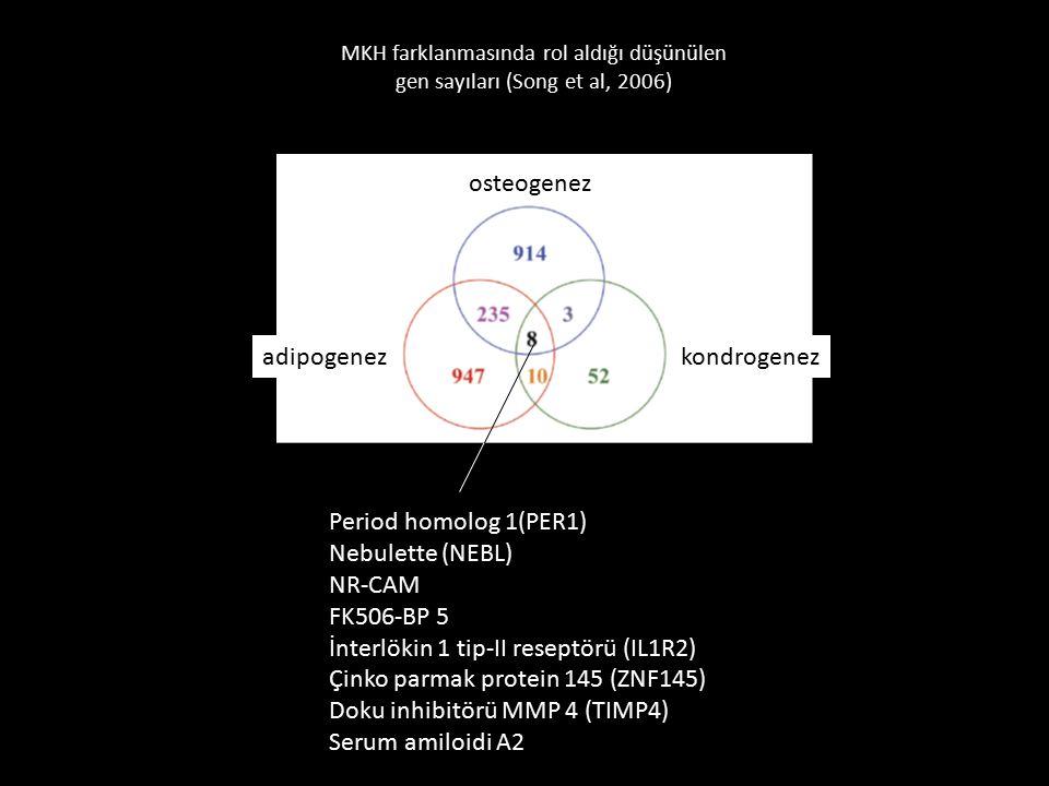 MKH farklanmasında rol aldığı düşünülen gen sayıları (Song et al, 2006) osteogenez adipogenezkondrogenez Period homolog 1(PER1) Nebulette (NEBL) NR-CA