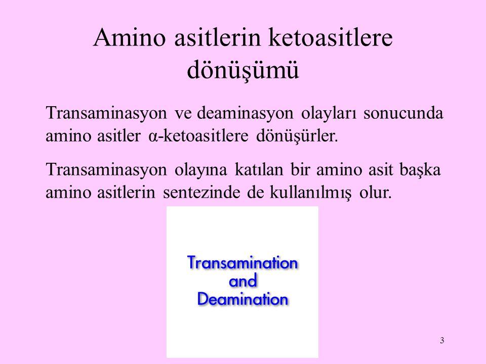 3 Amino asitlerin ketoasitlere dönüşümü Transaminasyon ve deaminasyon olayları sonucunda amino asitler α-ketoasitlere dönüşürler. Transaminasyon olayı