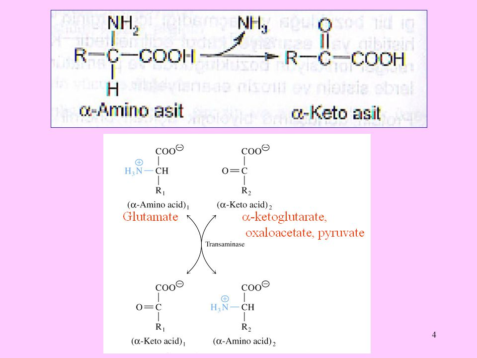 5 Amino asitlerin biyolojik aminlere dönüşümü Dekarboksilazların etkisiyle karboksil gruplarının uzaklaştırılması sonucunda amino asitler biyojen aminlere dönüşürler.
