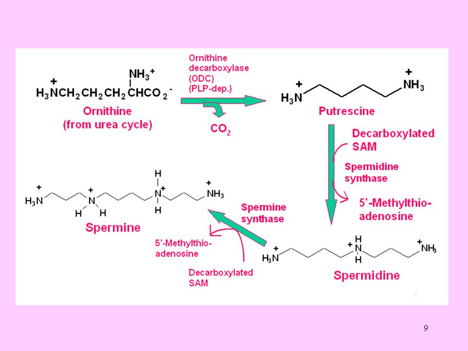 20 Kreatin, bütün dokularda meydana gelir ve gerektiğinde ATP oluşturmak için kullanılmak üzere kreatin fosfat haline geçerek kısmen depolanır.