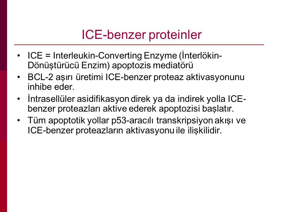 ICE-benzer proteinler ICE = Interleukin-Converting Enzyme (İnterlökin- Dönüştürücü Enzim) apoptozis mediatörü BCL-2 aşırı üretimi ICE-benzer proteaz aktivasyonunu inhibe eder.