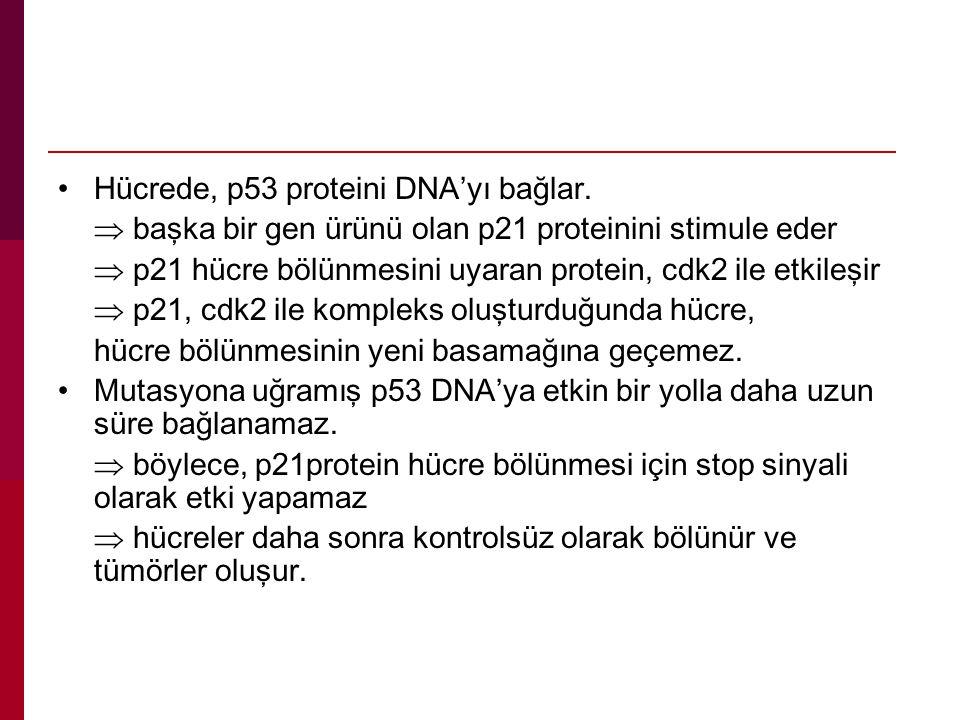 Hücrede, p53 proteini DNA'yı bağlar.  başka bir gen ürünü olan p21 proteinini stimule eder  p21 hücre bölünmesini uyaran protein, cdk2 ile etkileşir