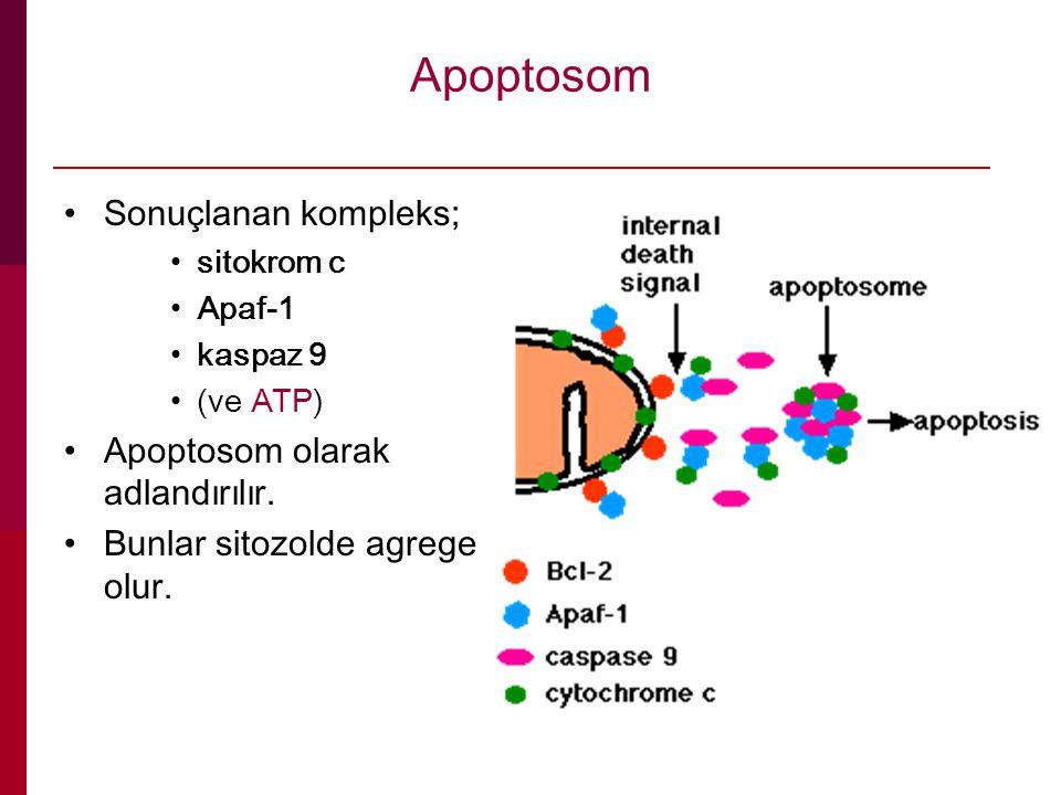 Apoptosom Sonuçlanan kompleks; sitokrom c Apaf-1 kaspaz 9 (ve ATP) Apoptosom olarak adlandırılır. Bunlar sitozolde agrege olur.