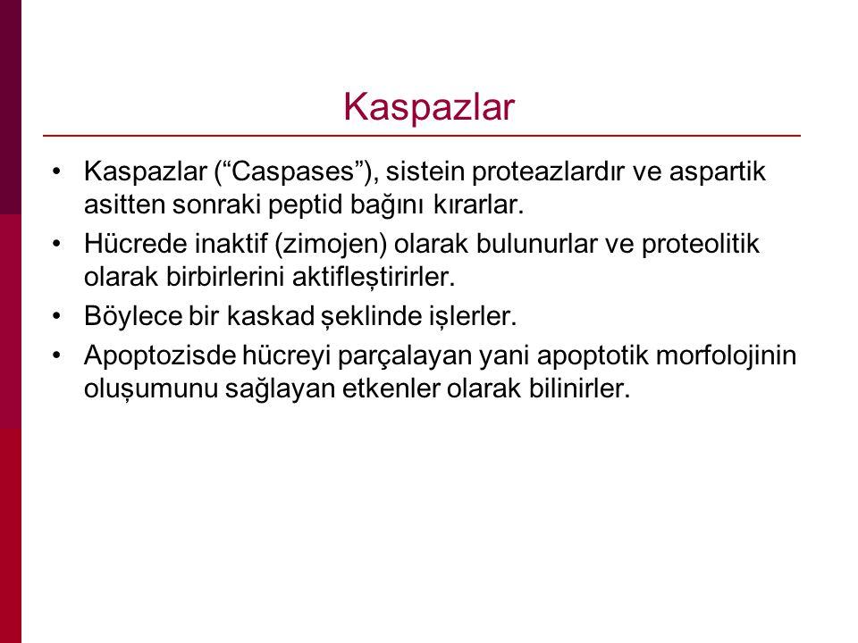 """Kaspazlar Kaspazlar (""""Caspases""""), sistein proteazlardır ve aspartik asitten sonraki peptid bağını kırarlar. Hücrede inaktif (zimojen) olarak bulunurla"""