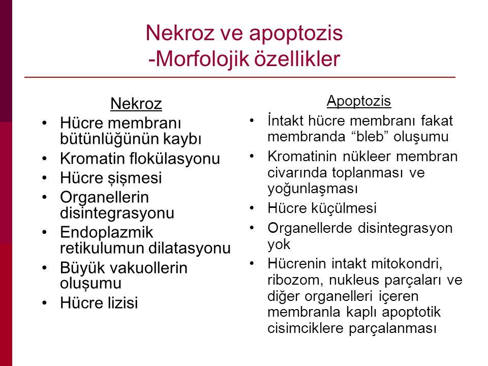 Nekroz ve apoptozis -Morfolojik özellikler Nekroz Hücre membranı bütünlüğünün kaybı Kromatin flokülasyonu Hücre şişmesi Organellerin disintegrasyonu E