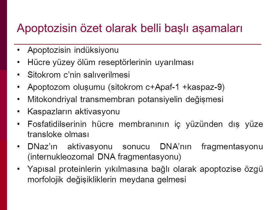 Apoptozisin özet olarak belli başlı aşamaları Apoptozisin indüksiyonu Hücre yüzey ölüm reseptörlerinin uyarılması Sitokrom c'nin salıverilmesi Apoptoz