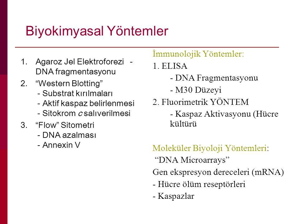 Biyokimyasal Yöntemler 1.Agaroz Jel Elektroforezi - DNA fragmentasyonu 2. Western Blotting - Substrat kırılmaları - Aktif kaspaz belirlenmesi - Sitokrom c salıverilmesi 3. Flow Sitometri - DNA azalması - Annexin V İmmunolojik Yöntemler: 1.