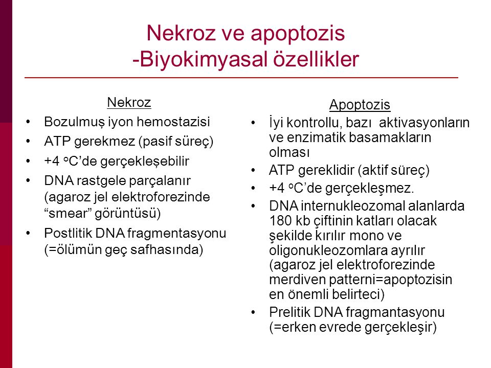 Nekroz ve apoptozis -Biyokimyasal özellikler Nekroz Bozulmuş iyon hemostazisi ATP gerekmez (pasif süreç) +4 o C'de gerçekleşebilir DNA rastgele parçalanır (agaroz jel elektroforezinde smear görüntüsü) Postlitik DNA fragmentasyonu (=ölümün geç safhasında) Apoptozis İyi kontrollu, bazı aktivasyonların ve enzimatik basamakların olması ATP gereklidir (aktif süreç) +4 o C'de gerçekleşmez.