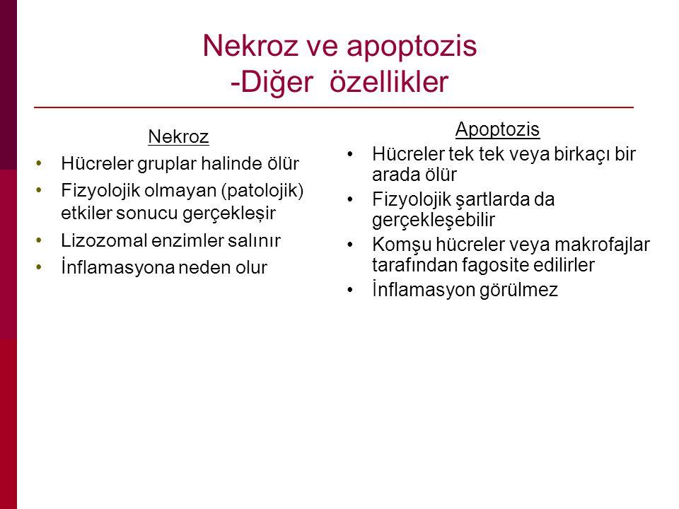 Nekroz ve apoptozis -Diğer özellikler Nekroz H ü creler gruplar halinde ö l ü r Fizyolojik olmayan (patolojik) etkiler sonucu ger ç ekleşir Lizozomal enzimler salınır İnflamasyona neden olur Apoptozis Hücreler tek tek veya birkaçı bir arada ölür Fizyolojik şartlarda da gerçekleşebilir Komşu hücreler veya makrofajlar tarafından fagosite edilirler İnflamasyon görülmez